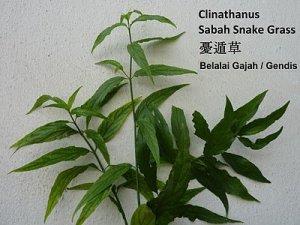 Sabah Snake Grass 优遁草 Clinathanus Daun Belalai Gajah Gendis